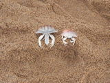 Crab couple