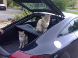 cats in the boot