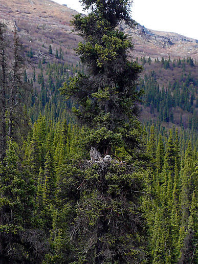 Great horned owl, with chick