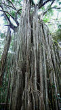 Curtain strangler fig