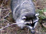 Raccoon...
