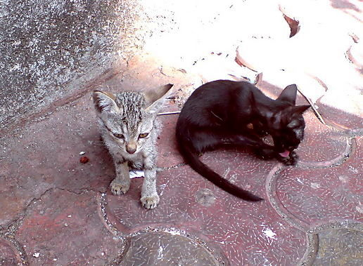 Indian Cats