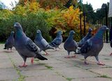 Poisoning pigeons in the park
