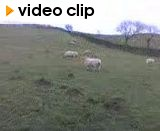 Chasing Sheep