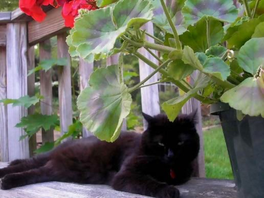 Crazy black cat & red flowers. (viewed 1949 times)