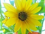 Little sunflower at morning