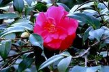 Beautiful Camelia's