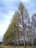 Number 1. The Larch