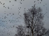 Scattered showers of snow and waxwings