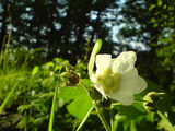 Thimbleberry flower and guest