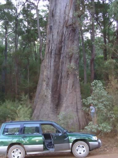 worlds largest jarrah tree, apparently.
