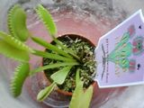 My little sisters venus flytrap