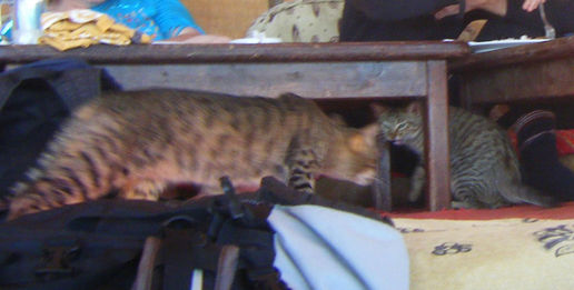 egypt cats: beggars are begging, thieves thieving...