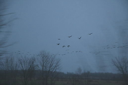 geese from a train