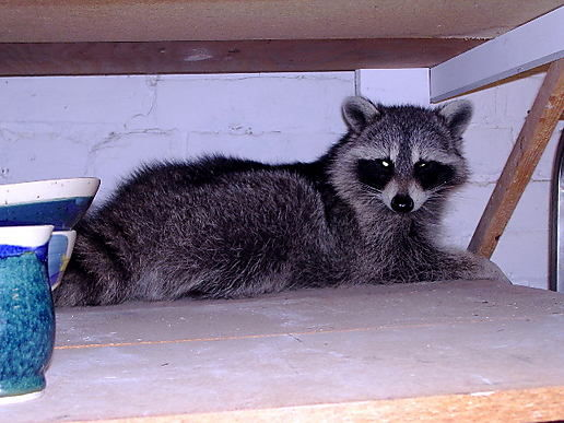 same raccoon. used to eat dog food. now thinks it's a cat.