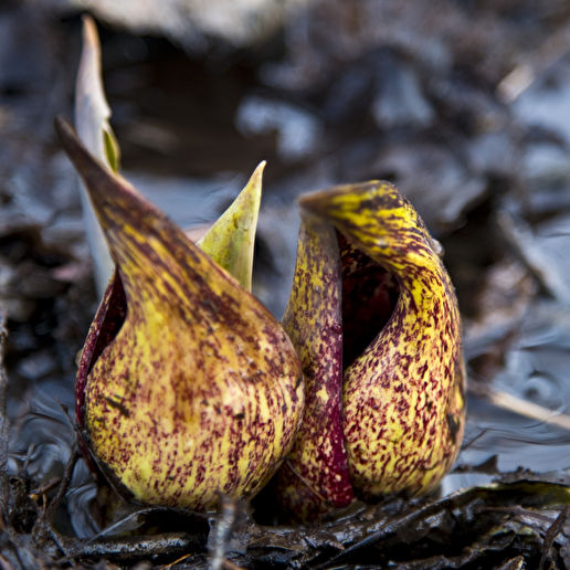 The skunk cabbage is up. Winter is over.