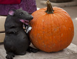 it's hallowe'en and we likes our rats