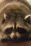 it's raccoon time again