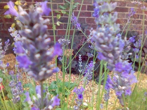 lavender in the office garden