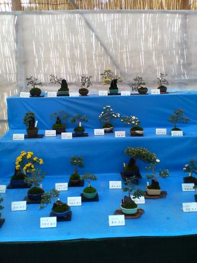 chrysanthemum bonsai 2 in Japan