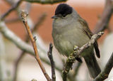 Eurasian Blackcap and Blue Tit
