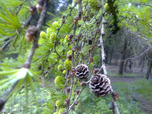 Pine cones - The old and the new