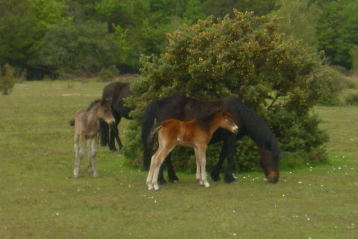 New Forest Foals