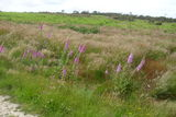 Foxgloves on Holt Heath