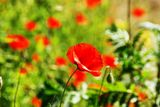 I love poppies - meadow