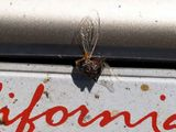 Very large bug that suicided on my license plate