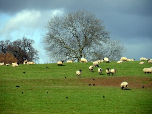 Sheep may safely graze...