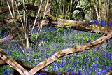 Bluebells in Surrey