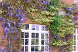 My Brother's Wisteria...