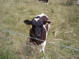 inquisitive calf