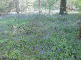 Bluebells at their peak!