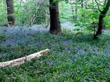 Bluebells from a couple of weeks ago