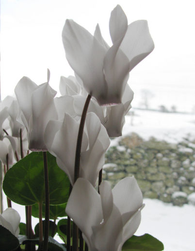 cyclamen inside - more snow outside!