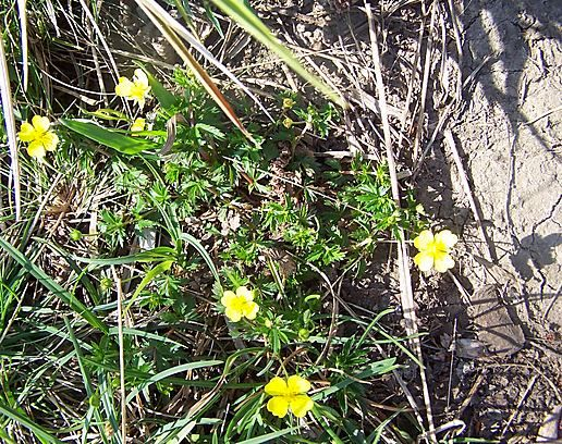 Lower Grass Wood .... Tormentil - Potentilla erecta
