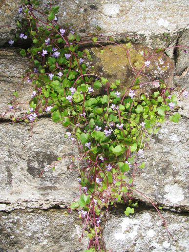 pretty wild plant (toadflax) in the school wall