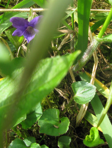 shy violets and primroses