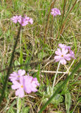 Back to the bog and the birds eye primrose :)