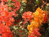 bougainvillea close up