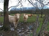 curious cows in rather a muddy patch!