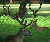 Deer at Woollaton Park
