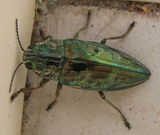 handsome beetle visits us on the patio