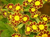 Harrogate Flower Show - polyanthus and primrose