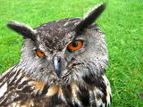Meet Flash the eagle owl.