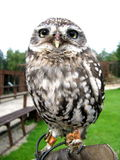 Meet Spud the little owl