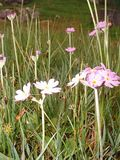 more birds eye primrose, grass, stitchwort and cuckoo pint