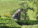 Not the safest way to cut a hedge!
